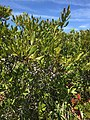 2017-09-04 12 28 23 Northern Bayberry leaves and fruit along the sand road leading to Barnegat Inlet within the Southern Natural Area of Island Beach State Park, in Berkeley Township, Ocean County, New Jersey.jpg