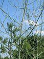 20170602Asparagus officinalis1.jpg