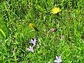 2018-05-13 (231) Plants at Bichlhäusl in Frankenfels, Austria.jpg
