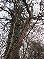 20180317Vitis vinifera subsp. sylvestris1.jpg