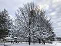2019-01-14 08 23 35 A Pin Oak after a heavy snowfall along Franklin Farm Road in the Franklin Farm section of Oak Hill, Fairfax County, Virginia.jpg