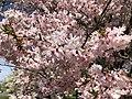 2020-03-22 13 10 01 Autumn Cherry flowers along Lees Corner Road in the Franklin Farm section of Oak Hill, Fairfax County, Virginia.jpg