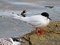 2020-07-18 Sterna dougallii, St Marys Island, Northumberland 17.jpg
