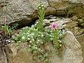 20 juin 08 fleurs rocher Doubs à identifier.jpg