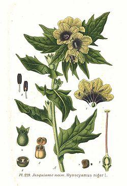 239 Hyoscyamus niger L.jpg