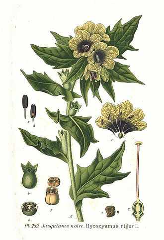 Flying ointment - Ingredient : Black Henbane, Hyoscyamus niger