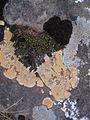 31 Flavors of Lichen and Moss (3025726031).jpg