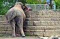50 Jahre Knie's Kinderzoo - Elephas maximus 2012-10-03 16-07-07.JPG