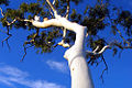 A212, Mary Kathleen, Queensland, Australia, ghost gum tree, 2007.JPG