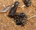 AFRICAN THIEF ANT ONE.jpg