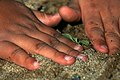 A child's hands smooth the sand around a newly planted coastal dune plant. (32297799033).jpg