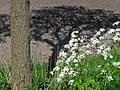 A close-up view of the shadows of a tree and cow parsley on a prepared agriculture field; Netherlands 2012.jpg