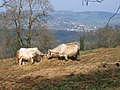 A cows eye view of Monmouth^ - geograph.org.uk - 153173.jpg