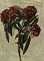 A flowering branch of rhododendron. Watercolour. Wellcome V0043450.jpg