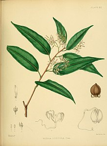 A hand-book to the flora of Ceylon (Plate XIII) (6430635839).jpg