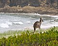 A picture of a kangaroo on the beach - how could I not include this? (4364609850).jpg
