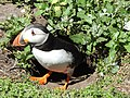 A puffin facing away from camera.jpg