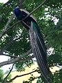 A resident peacock 6-22-2014.jpg