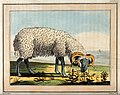 A sheep grazing by the coast. Coloured etching by T. Medland Wellcome V0021696.jpg