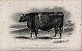 A short horned steer. Etching by E. Hacker, ca 1849, after W Wellcome V0021630.jpg