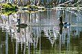 A sunny mrning at Isabel Lake.Ring Necked Ducks (Aythya collaris). (15117281699).jpg