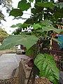 Abroma augustum-3-papanasam-tirunelveli-India.jpg