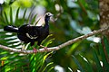 Aburria cumanensis, Blue-throated Piping-guan.jpg