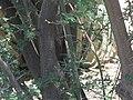 Acacia-minuta-thorns.jpg