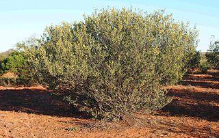 <i>Acacia kempeana</i> Species of plant