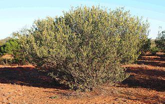 Acacia kempeana - Image: Acacia kempeana shrub