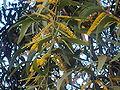 Acacia melanoxylon flowers.JPG