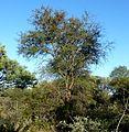 Acacia nigrescens, habitus, Steenbokpan, f.jpg