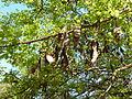 Acacia nigrescens, peule, Pretoria NBT.jpg