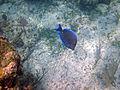 Acanthurus coeruleus (blue tang) (San Salvador Island, Bahamas) 3 (16124205076).jpg