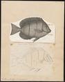 Acanthurus triostegus - 1700-1880 - Print - Iconographia Zoologica - Special Collections University of Amsterdam - UBA01 IZ13700031.tif