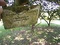 Acer pictum ssp pictum R0019753.JPG