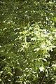 Acer pseudoplatanus (Erable sycomore) Fleurs.jpg