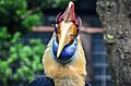 Aceros cassidix (Knobbed Hornbill - Helmhornvogel) - Weltvogelpark Walsrode 2011-09.jpg