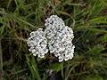 Achillea millefolium 104057976.jpg