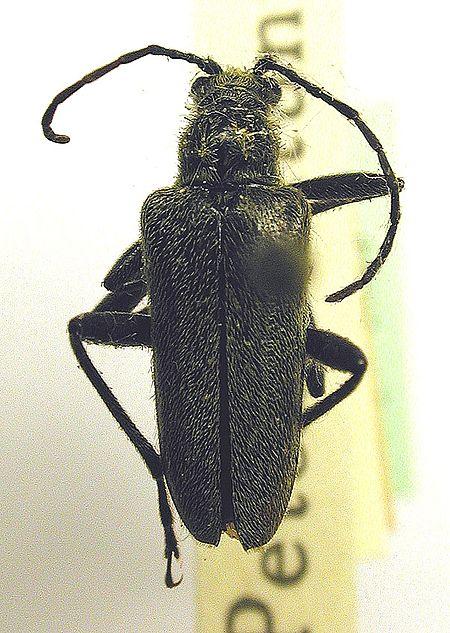 Acmaeops smaragdulus