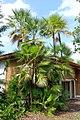 Acoelorrhaphe wrightii - Mounts Botanical Garden - Palm Beach County, Florida - DSC03835.jpg