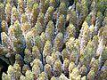 Acropora microclados, tentáculos.jpg