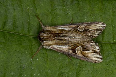 Actinotia polyodon, Lodz(Poland)02(js).jpg