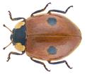 Adalia bipunctata (Linné, 1758) (30721136171).png