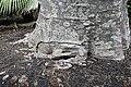 Adansonia digitata 26zz.jpg