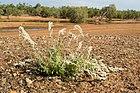 Aerva javanica Pilbara.jpg