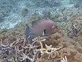 Aethaloperca rogaa Maldives.JPG