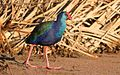 African Purple Swamphen.jpg