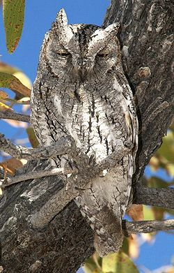 African Scops Owl calls, recorded in the Samburu Game Reserve, Kenya