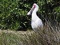African Spoonbill at Rondevlei Nature Preserve (44701612702).jpg